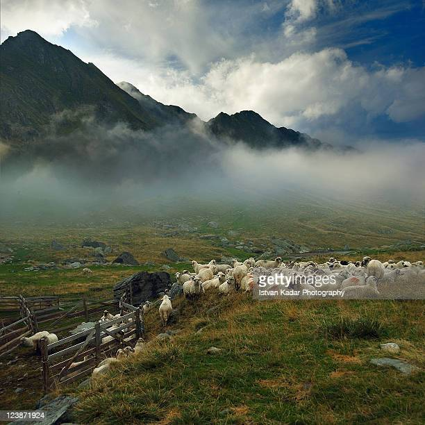 Sheep in Mountains of Fogaras