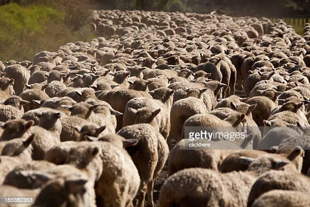 Moutons en Nouvelle-Zélande, prenez sur la route
