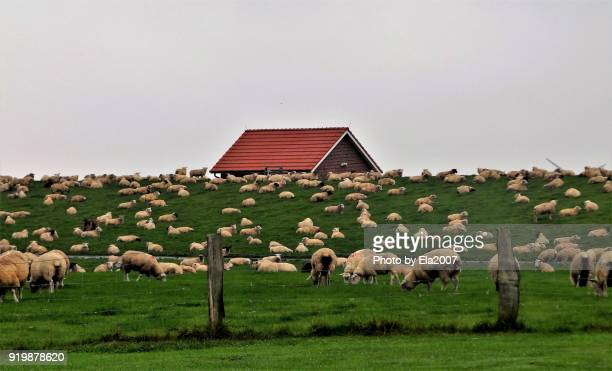 Sheep in northern Germany