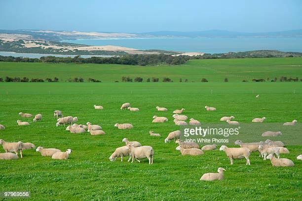 sheep in paddock - porto lincoln - fotografias e filmes do acervo