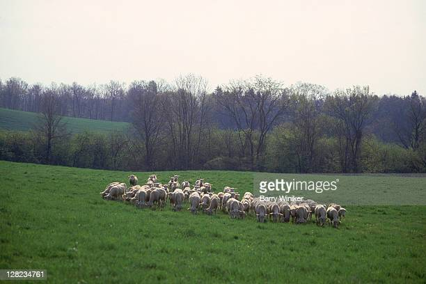 sheep in pasture, chatham, columbia county, ny - chatham new york state stock pictures, royalty-free photos & images