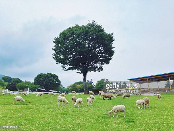 sheep in pasture - maebashi city stock photos and pictures