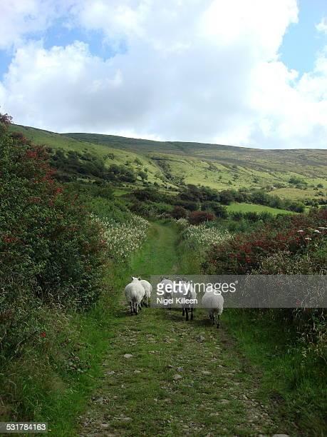 Sheep in rural country lane,
