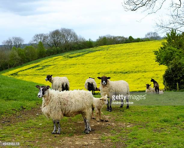 Sheep in Rural England