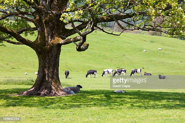 Sheep in shade of tree with cattle grazing on farmland by River Hodder in The Forest of Bowland, Lancashire, England, UK