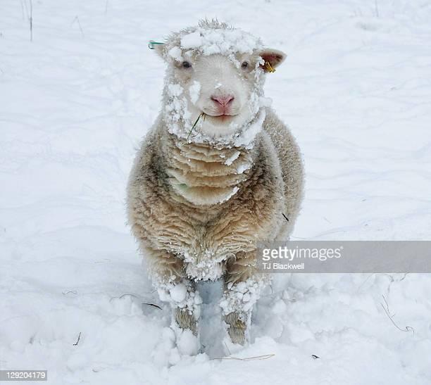 sheep in snow - オトレイ ストックフォトと画像