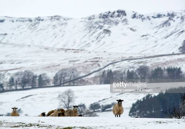 A sheep in snowy conditions near Hardraw in the Yorkshire Dales National Park as motorists are being urged to be wary of ice on the roads after...