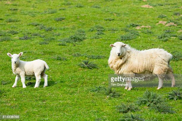 Sheep in the Cotswolds, UK