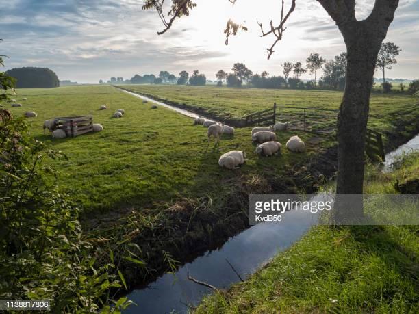 牧草地の羊 - 干拓地 ストックフォトと画像