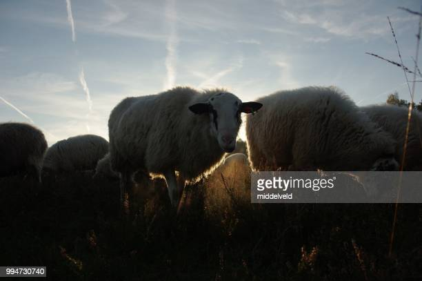 sheep in the morning - shepherd stock pictures, royalty-free photos & images