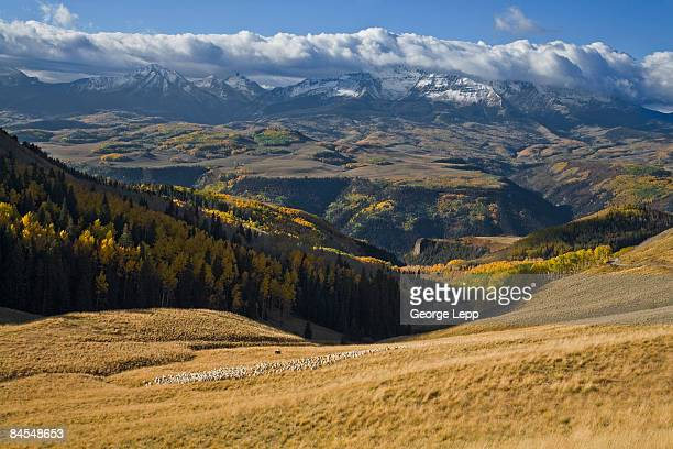 sheep in the san juan mountains - mt wilson colorado stock photos and pictures