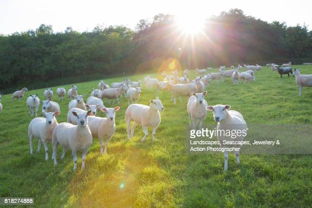 sheep in the sunshine - grazing stock pictures, royalty-free photos & images