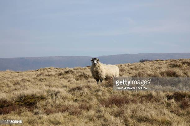 sheep in the wild - dave ashwin stock pictures, royalty-free photos & images