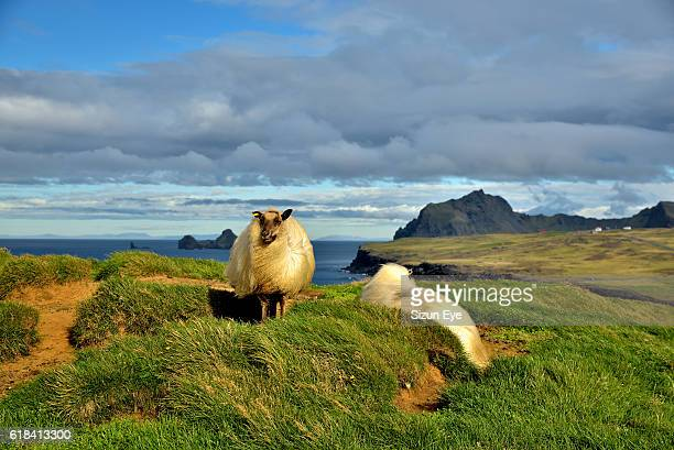 Sheep in the wind on Heimaey Island in Iceland.