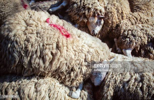 sheep infected with foot and mouth desease culled in north cumbria, uk. - zoonotic diseases ストックフォトと画像