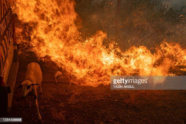 Sheep is covered with flammes coming from an advancing fire on August 2, 2021 in Mugla, Marmaris district, as the European Union sent help to Turkey...