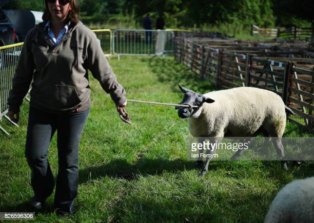 Sheep is led from its pen during the Osmotherley Country Show on August 5, 2017 in Osmotherley, England. The annual show hosts pony, cattle and sheep...