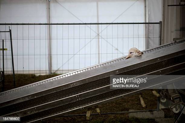 A sheep is loaded on a machine in a slaughterhouse in La Courneuve on the first day of the Muslim holiday of Eid alAdha on October 26 2012 outside of...