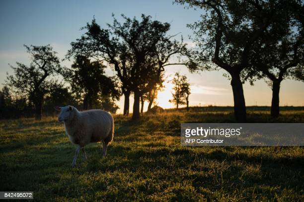 A sheep is pictured in Dresden eastern Germany on September 4 2017 / AFP PHOTO / dpa / Arno Burgi / Germany OUT