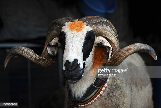 A sheep is seen at a Mellacine animals market where Tunisians buy sheep on November 12 2010 in preparation for the Muslim holiday of Eid alAdha or...