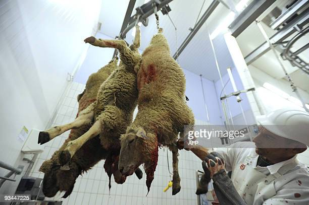 A sheep is slaughtered in a slaughterhouse in Cernay on November 27 2009 for the muslim Aid fest The festival of sacrifice is celebrated throughout...