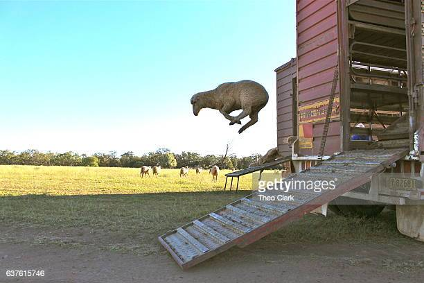 Sheep leaps from truck