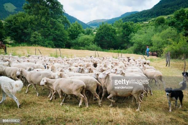 sheep leaving the pen on migrating journey - comportamento animale foto e immagini stock