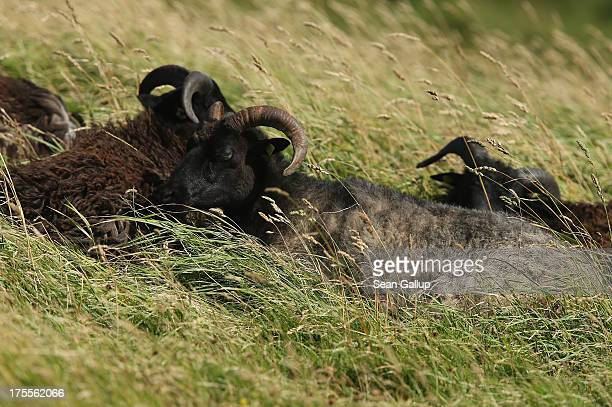 Sheep lie in tall grass on a windy summer day on August 3 2013 on Heligoland Island Germany Heligoland Island in German called Helgoland lies in the...