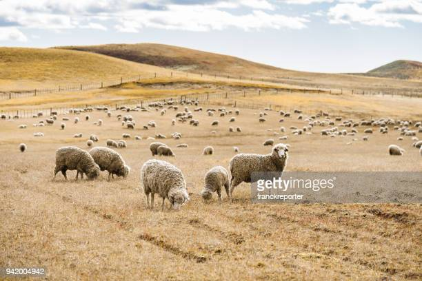 sheep livestock in argentina - ovino foto e immagini stock
