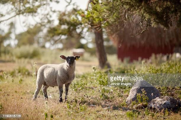 sheep looking at camera - gotland bildbanksfoton och bilder