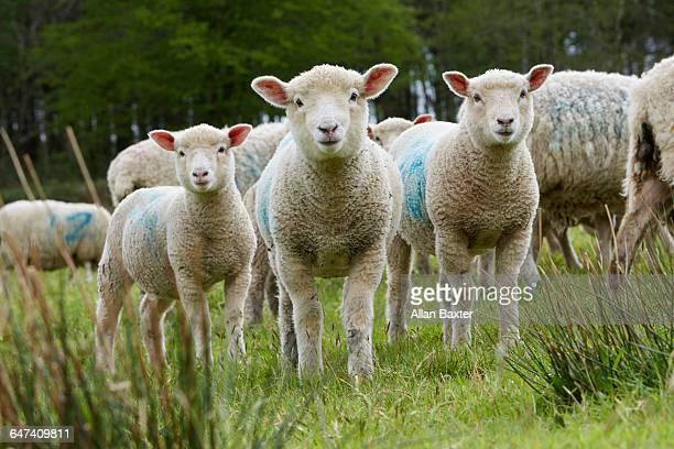 sheep looking into camera in devon - grupo mediano de animales fotografías e imágenes de stock