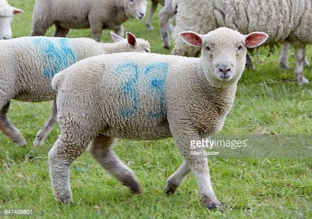 Sheep looking into camera