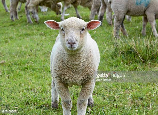 sheep looking into camera - grupo mediano de animales fotografías e imágenes de stock