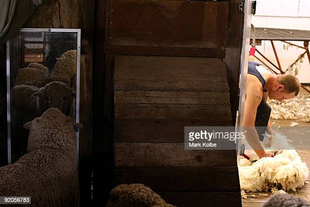 A sheep looks itself in a mirror as another is shorn by Bruce Hall during spring shearing at Cherry Hill Pastoral Company property on October 19 2009...