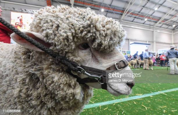 Sheep looks on at judging during the Sydney Royal Easter Show at Sydney Showground on April 20, 2019 in Sydney, Australia. The annual Easter show is...