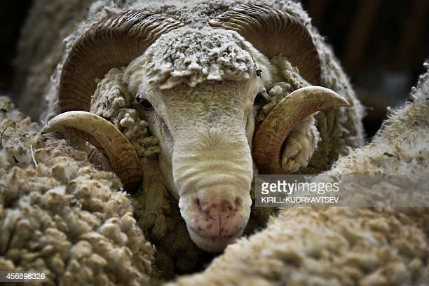 A sheep looks on during the Russian National Agricultural Exhibition Golden Autumn 2014 in Moscow on October 9 2014 AFP PHOTO/KIRILL KUDRYAVTSEV