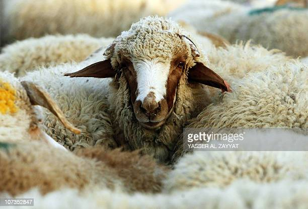 A sheep looks up from its pen at a livestock market ahead of the Muslim holiday of Eid alAdha or the Feast of Sacrifice in Kuwait City on November 14...