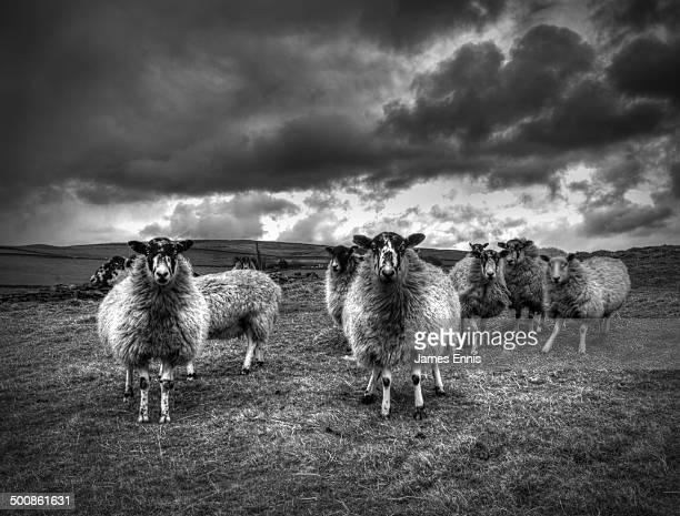 Sheep, monochrome in farmland