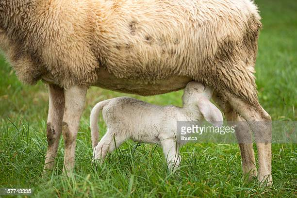 sheep mother and lamb suckling - mammal stock pictures, royalty-free photos & images