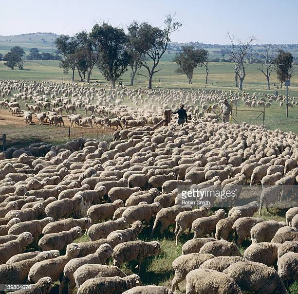 Sheep muster, Canowindra, NSW