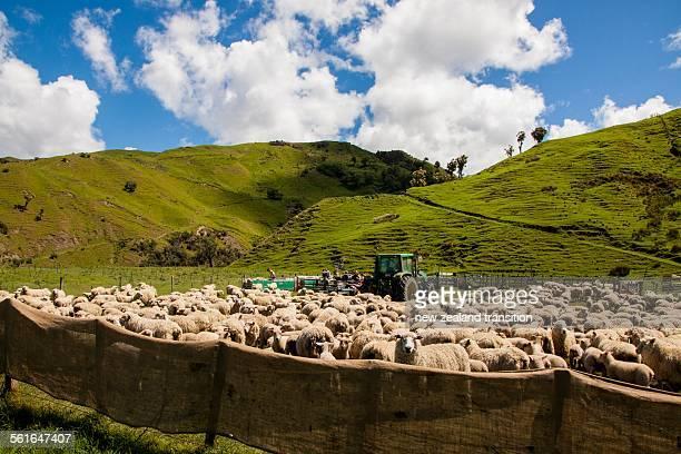 Sheep mustering, rural Wairarapa