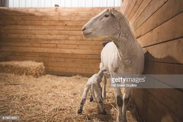 Sheep nursing lamb in barn