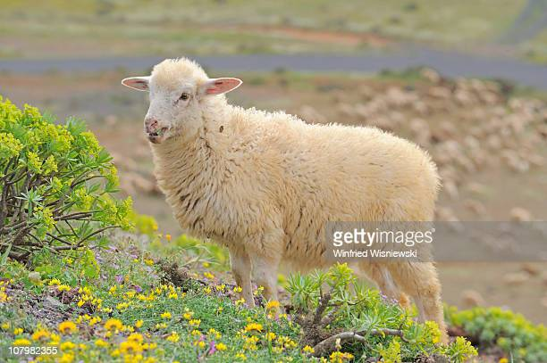sheep of lanzarote island - atlantic islands stock pictures, royalty-free photos & images