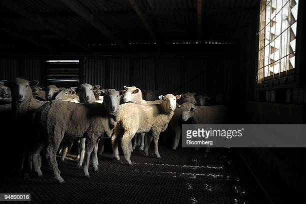 Sheep of mixed breeding are collected for transportation to an abattoir at a farm in Avalon outside Melbourne Australia on Friday May 30 2008...