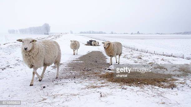 Sheep on a cold winterday in the snow