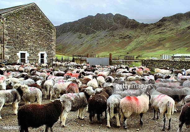 CONTENT] Sheep on a farm in Gatesgarth near Buttermere Lake with Haystacks in the background within the popular walking destination of the Lake...