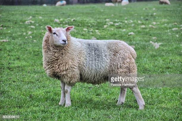 sheep on a farm in kent - sheep stock pictures, royalty-free photos & images