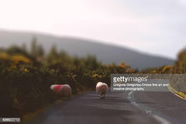 sheep on a narrow countryside road - gregoria gregoriou crowe fine art and creative photography. stock-fotos und bilder