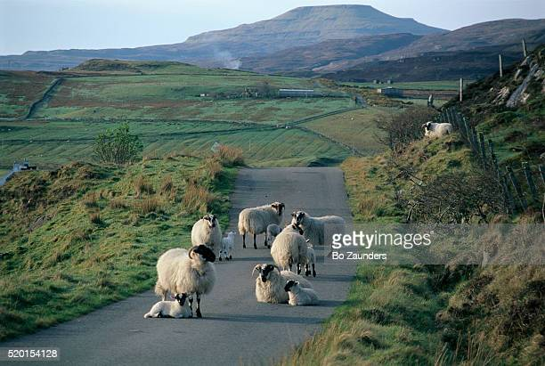 sheep on a single lane road - bo zaunders stock pictures, royalty-free photos & images