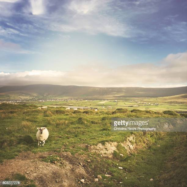 Sheep on Bray's Head, Valentia Island, looking at the camera